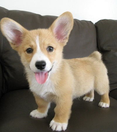 corgi-puppy-on-a-couch_large